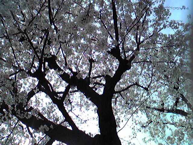 東京は桜が満開です